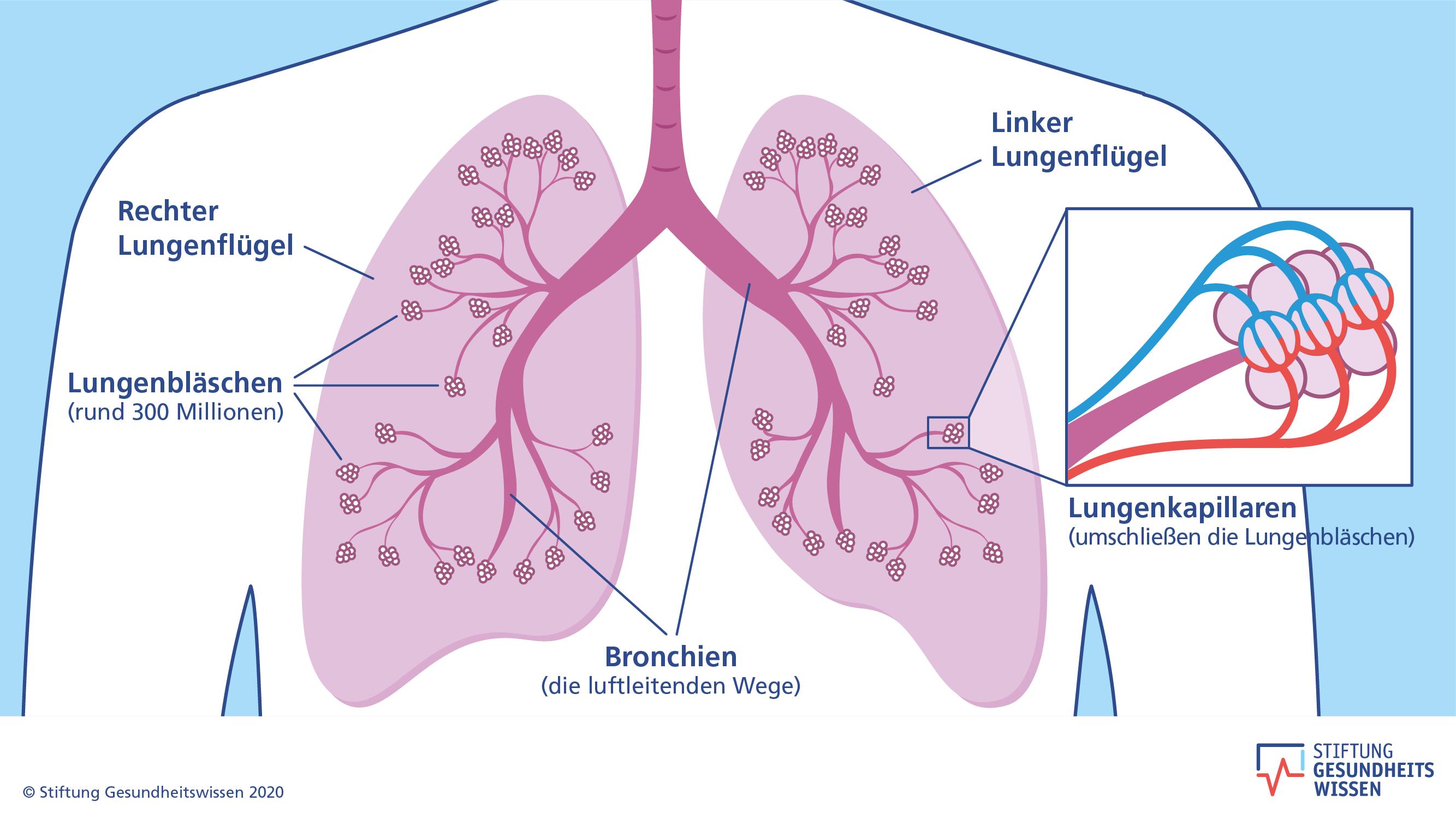 Wie funktioniert die Lunge   Stiftung Gesundheitswissen